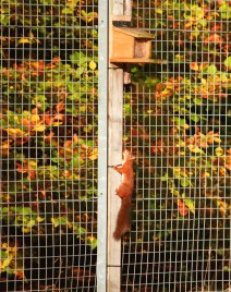 Image of red-squirrel-climbing-up-feeder