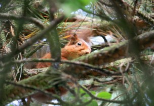 Image of red-squirrel-looking-sideways-down-at-camera-from-pine-tree