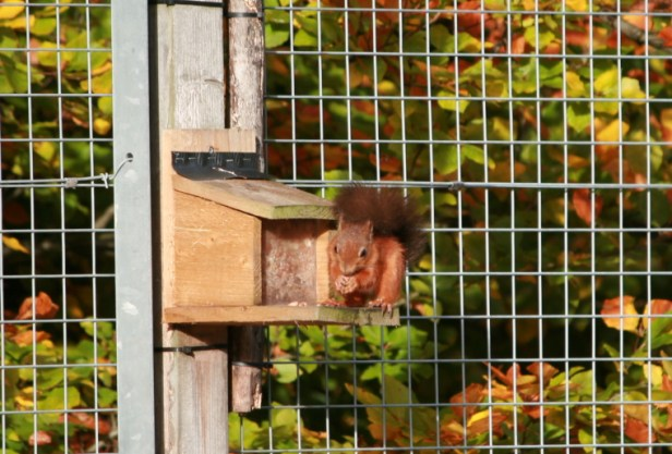 red-squirrel-on-bird-feeder-with-autumn-leaves-behind