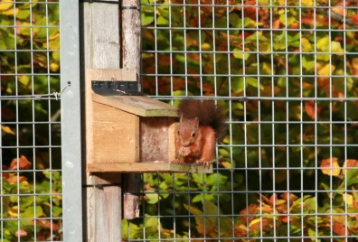 Image of red-squirrel-on-feeder-with-autumn-leaves-behind