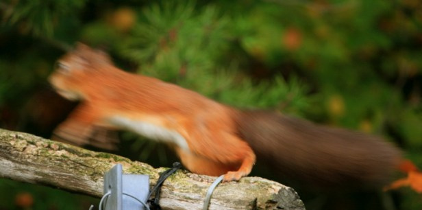 red-squirrel-running-back-to-the-woods-blurred-by-speed