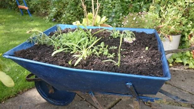 Image of seedlings-sprouting-in-blue-wheelbarrow