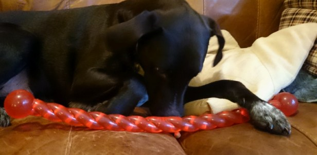 black-dog-lying-down-on-chair-with-red-toy-stick