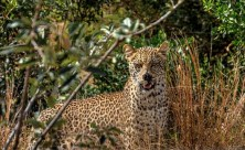 Image of Leopard in African bush