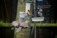 Image of collared-doves-and-sparrow-on-bird-feeder