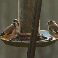 Image of goldfinches-eating Nyger seed on-hanging bird feeder