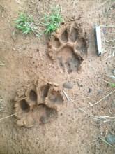 Image of lion-pawprints