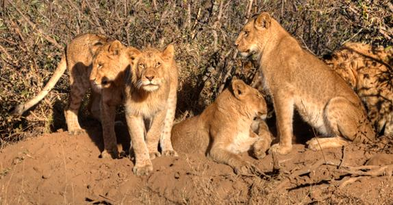 Image of pride of lions in on dried mud ridge in South African bush