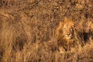 Image of male-lion in African bush