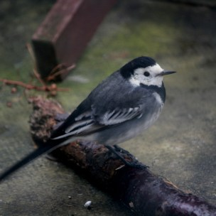 Image of pied-wagtail on stick on patio