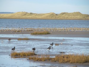 Image of mud flat with grasses in foreground with 4 geese and a flock of waders with sea and dunes behind
