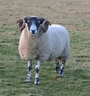 Image of blackface-ram-with-stunning-curly-horns-in-field