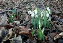 Image of clump-of-snowdrops-growing-in-brown-autumn-leaves