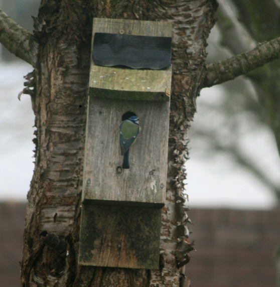 Image of bluetit-investigating-nestbox-on-tree-in-garden