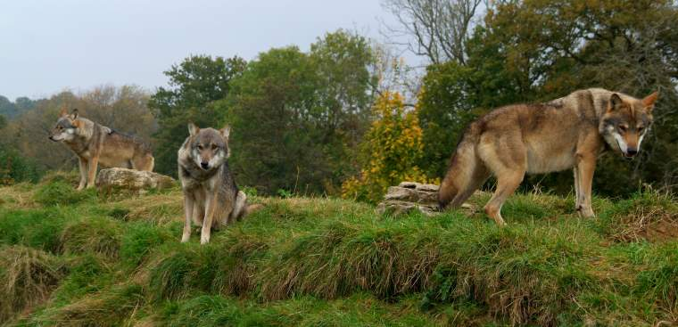 Image of three wolves relaxing on rocky mound with woods in background