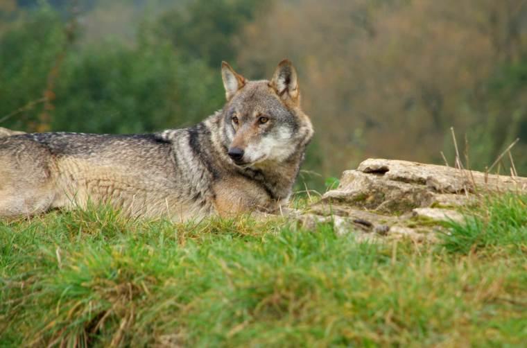 Image of wolf lying near rock on grass