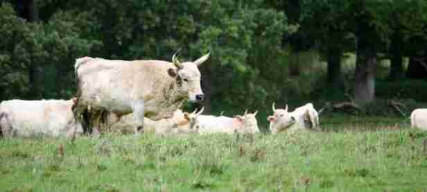 Image of group of white wild Chillingham cattle grazing in front of woods
