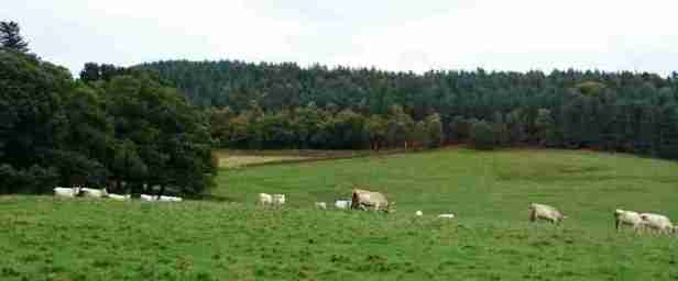 Image of group of wild white Chillingham cattle in field on hills surrounded by woodland