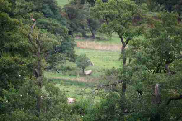 Image of grove of trees with distant view of wild white Chillingham cattle