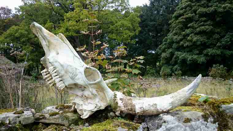 Image of skull of wild Chillingham bull on mossy dry stone wall with woods in background