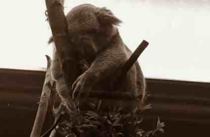Sepia image of koala asleep on eucalyptus branch in zoo