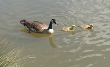 Image of Canada Goose and two goslings in lake with grasses at bottom left