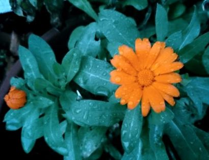 Image of dew-covered orange Calendula flower