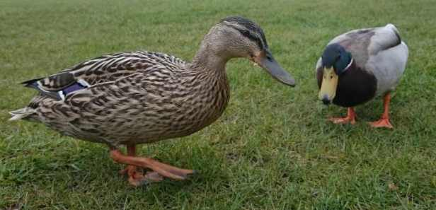 Image of male and female mallard ducks on grass