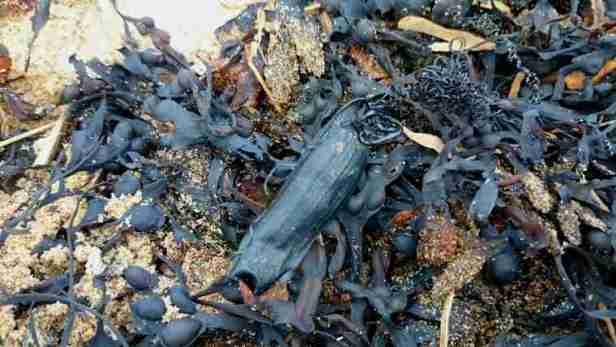 Image of dark leather-like pouch camouflaged in pile of dark seaweed on sand