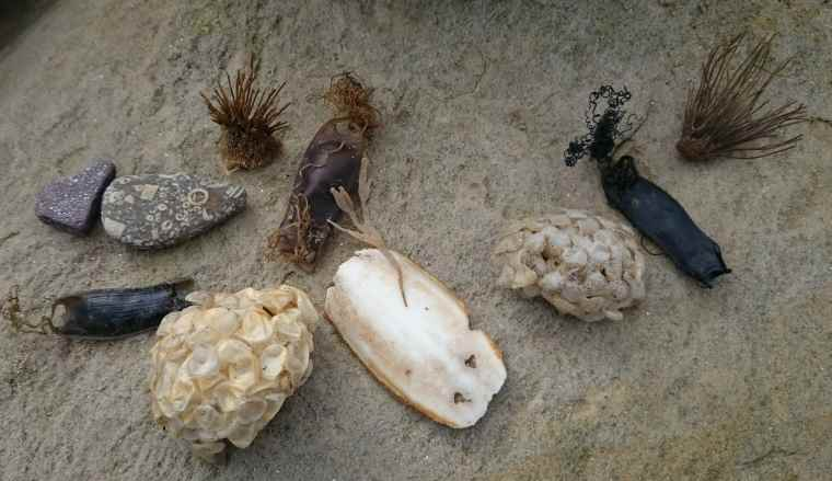 Image of shark egg case, whelk egg case, stones, sea plants, paper-looking eggs and dark leather looking pouches displayed on a sandstone rock
