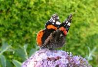 Image of black red and white Red Admiral butterfly with wings half open on purple Buddleja flower