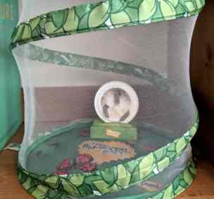 Image of chrysalis station (white disc in cardboard stand) inside cylindrical netted butterfly habitat