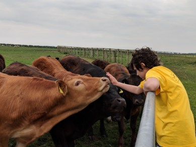 Image of girl in yellow T-shirt standing on gate patting nose of brown bullock in field