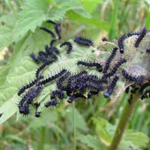 Image of many black spiky caterpillars in clump on nettle leaves