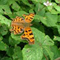 Image of orange and brown Comma butterfly with open wings on bramble bush
