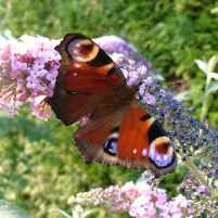 Image of red and orange Peacock butterfly with open wings on pale lilac Buddleja flower