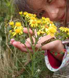 Image of two black and yellow striped caterpillars on yellow daisy-like wildflower in grass with child's hand near flowers