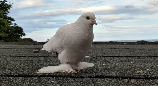 Image close up of white dove with large feathers on feet and legs standing on flat roof with sky and tree behind