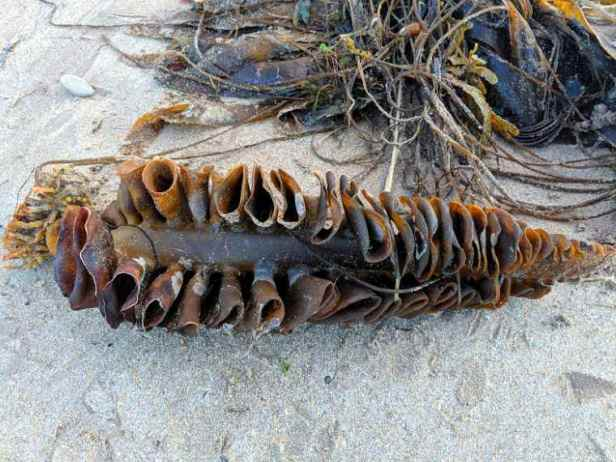 Image of piece of brown-green seaweed in a concertina shape lying on sandy beach