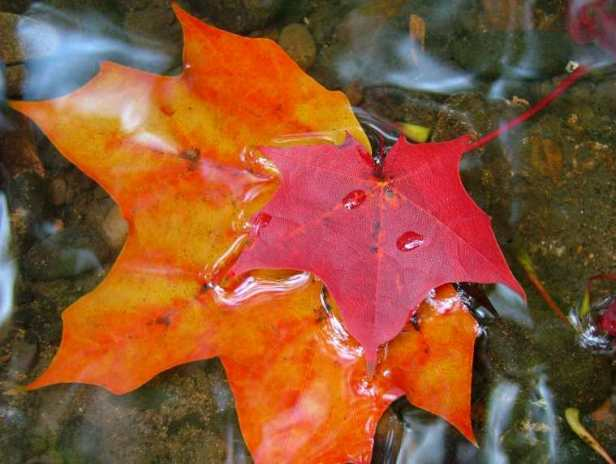 Image of orange maple leaf under water with smaller red maple leaf resting on top