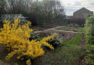 Image of allotment vegetable patch with bare earth and yellow shrub flowers in foreground