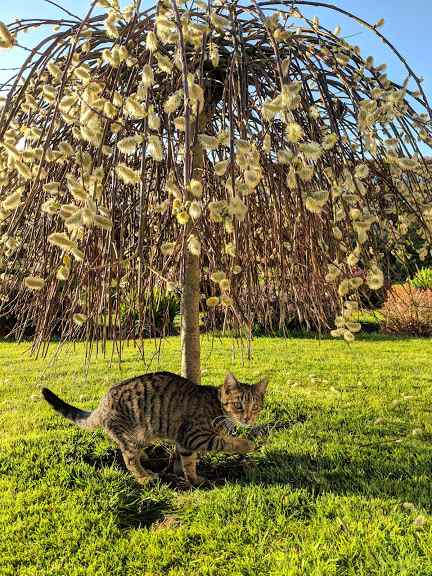 Image of brown and black tabby striped kitten standing under miniature weeping willow tree