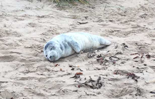 Image of lone grey seal pup asleep on sand
