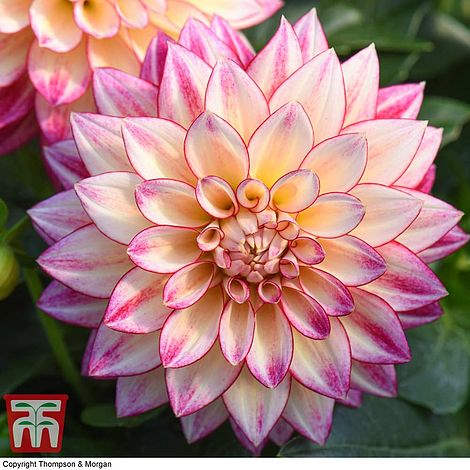 Pink, cream and pale yellow star shaped flower Dahlia Tropical Breeze from Thompson & Morgan