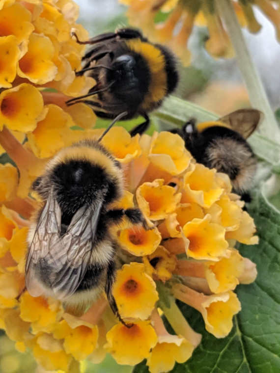 Three buff tailed bumble bees feeding on yellow flowers of buddleia bush