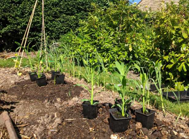 Vegetable patch bed with two round plots of soil and sweetcorn plants placed in pots with bean pole wigwam in background