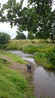Black dog on pebble beach by river stream rushes with branch in foreground