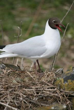 black-headed-tern-on-nest with eggs-farne-islands