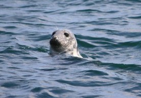 grey-seal-head-above-water