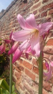 pink-guernsey-lily-close-up